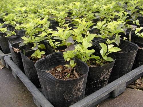 藥用植物、花草樹木產銷照片集錦